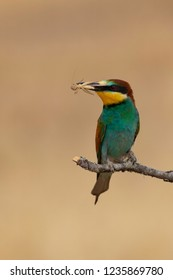 Bee-eater eating lobster (Merops apiaster): The European bee-eater or common bee-eater is a species of coraciiform bird of the Meropidae family that lives in Eurasia and Africa
