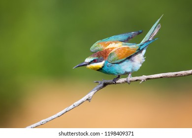 The bee-eater moment of flight