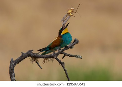 Bee-eater throwing lobster(Merops apiaster): The European bee-eater or common bee-eater is a species of coraciiform bird of the Meropidae family that lives in Eurasia and Africa
