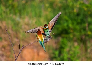 Bee-eaters (or bee eaters) in various situations.