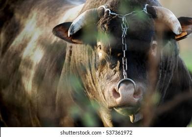 Beef, Boeuf in meadows, Bazas, Gironde, France, Europe