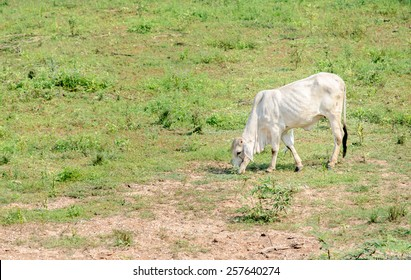 beef cattle eating grass