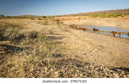 Beef cattle graze near a watering hole in dry and hot conditions in Botswana, Africa