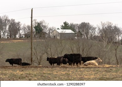 Beef cattle in a pasture on a grey winter day in Appalachia with a barn in the background