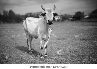 Beef cattle in Thailand
