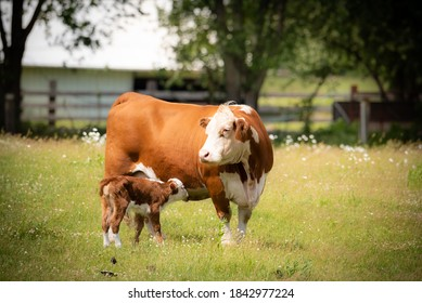 beef cow with days old calf on green grass meadow.