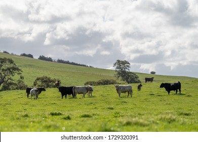 Beef cows and calfs grazing on grass in south west victoria, Australia. eating hay and silage. breeds include specked park, murray grey, angus and brangus