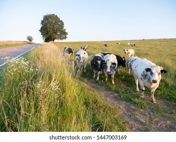 beef cows in evening landscape between La Roche and Bastogne in the belgian Ardennes