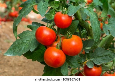 Beef tomato . It is suitable for all types of production systems, including protected culture and open field, and is early maturing. The fruit is round in shape and has good quality .