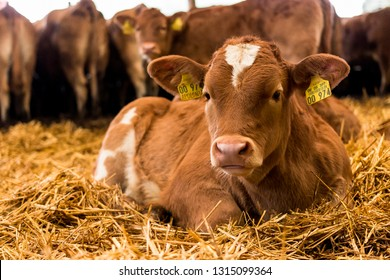 Beef-Cattle Calfs resting in straw in the barn