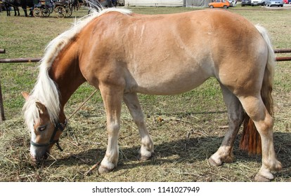 Beefy strong beautiful white horse