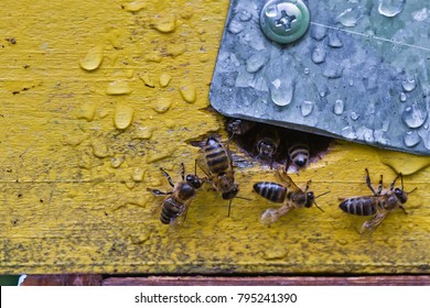 From beehive entrance bees creep out. Honey-bee colony guards the hive from looting honeydew. The bees return to the beehive after the honeyflow. Bee-guard in the beehive entrance. Swarm hived readily
