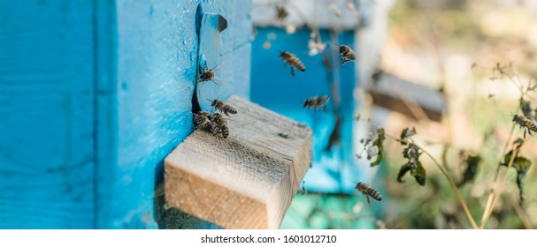 From beehive entrancebees creep out. Honey-bee colony guards on blue hive from looting honeydew. bees return to the beehive after the honeyflow. Bee-guard in beehive entrance. Swarm hived readily