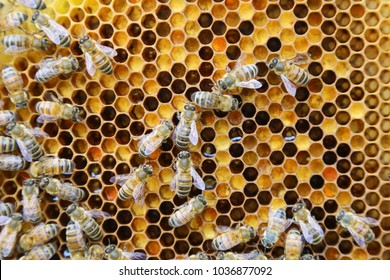 Beehive interior - honey bees working on a honeycomb