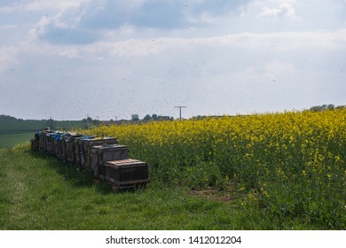 Beehives on the Edge of a yellow Rape Field in Spring. Countless Bees fly around in the Air. The Insects collect Honey. The Sky is slightly Cloudy.