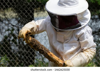 The beekeeper checks honeycomb , working with bees and collects honey in garden