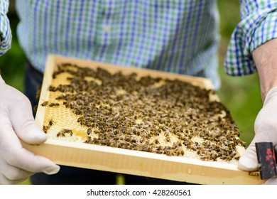 Beekeeper in controlling the beehive on queen cells viewing on honeycomb frames of a beehive