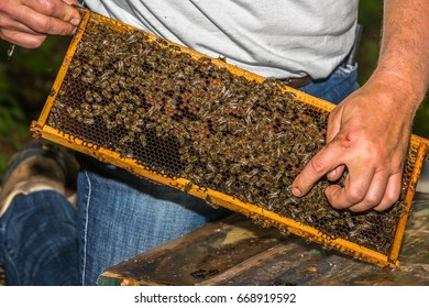 beekeeper with a finger shows blue labeled bee queen on honeycomb removed from hive