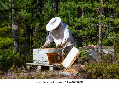 Beekeeper gets honeycomb from beehive on the glade with summer flowers in the pine Norwegian forest