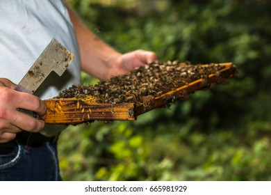 beekeeper with hive tool in the hand, makes a hive inspection, more precisely honeycomb removed from the hive