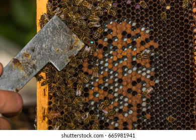beekeeper with hive tool in the hand, shows labeled bee queen with hive tool