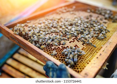 Beekeeper holding frame of honeycomb with bees.