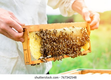 beekeeper holding a honeycomb full of bees. Beekeeper inspecting honeycomb frame at apiary. Beekeeping concept