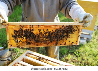 Beekeeper holds frame with honeycomb out of beehive