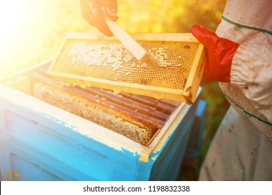 The beekeeper holds a honey cell with bees in his hands. Apiculture. Apiary. Frames of a beehive. collects honey. A bee smoker is used to calm the bees before removing the frame.
