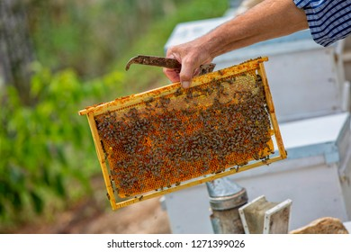 The beekeeper holds a honey cell with bees in his hands. Apiculture. Apiary - Image