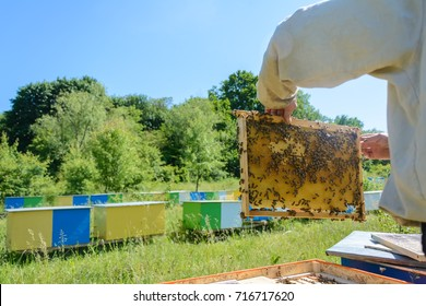 The beekeeper holds a honey cell with bees in his hands.