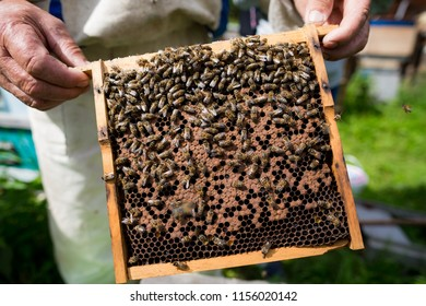 Beekeeper holds a honey cell with working bees in his hands. Apiculture. Apiary