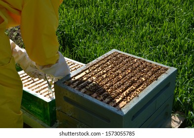 Beekeeper inspecting honeycomb frame at apiary. Beekeepers hands in gloves holding the honeycomb with special tools. Apiculture. Beehive in summer. Beekeeping concept
