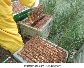 Beekeeper inspecting honeycomb frame at apiary. Beekeepers hands in gloves holding the honeycomb with special tools. Apiculture. Beehive full of bees in the summer. Beekeeping concept