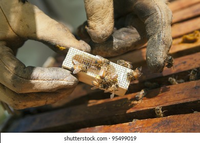 Beekeeper introducing a new queen bee in an introduction cage to the hive