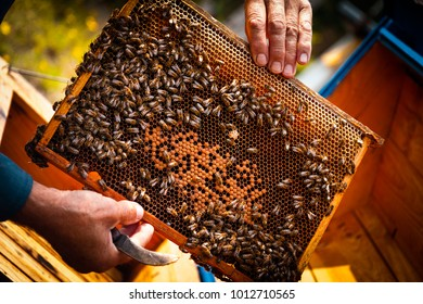 Beekeeper introducing a new queen into a beehive colony frame, with bees swarming around. Care and harvesting honey.