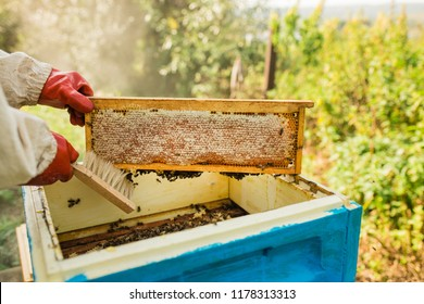 The beekeeper keeps a honey cell with bees in his hands. Apiary. Frames of a beehive. collects honey. A bee smoker is used to calm the bees before removing the frame.