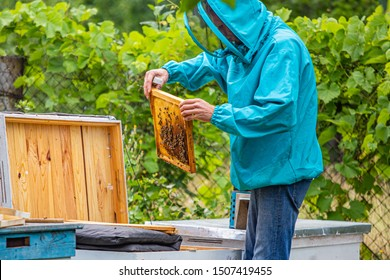 Beekeeper looking after bees and preparing for honey by maintaining the beehive. beekeeper holding a honeycomb full of bees. Beekeeper inspecting honeycomb frame at apiary. Beekeeping concept