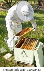 Beekeeper looking after bees and preparing for honey by maintaining the beehive