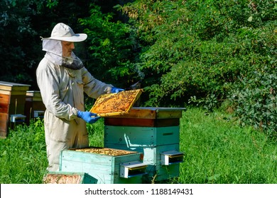 Beekeeper on apiary. Beekeeper is working with bees and beehives on the apiary. Apiculture concept