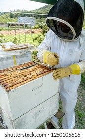 Beekeeper opening a bee hive (Apis melifera) to rob honey and maintain the nest