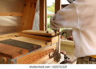Beekeeper opening beehive