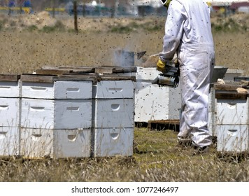 Beekeeper in protective gear uses a bee smoker to calm the bee colony.
