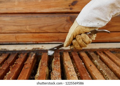 Beekeeper pulls out wooden frame with honeycomb from beehive using beekeeper tool. Collect honey. Beekeeping concept.