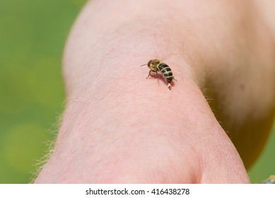 Beekeeper is stung by a bee and the bee rips out the sting