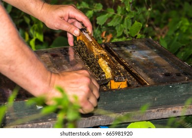 beekeeper take out frame from the hive, to check the condition of the colony
