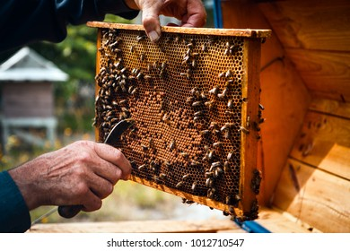 Beekeeper taking care of beehive colony frame, with bees flying around. Old style organic breeding