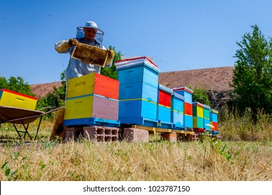 Beekeeper is taking out the honeycomb on wooden frame to extract honey from bee hives, harvest.