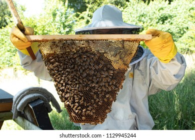 Beekeeper wearing beekeeper suit holding up a frame covered in bees