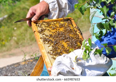 Beekeeper is working with bees and beehives on the apiary. Beekeeper with smoker controlling beehive and comb frame